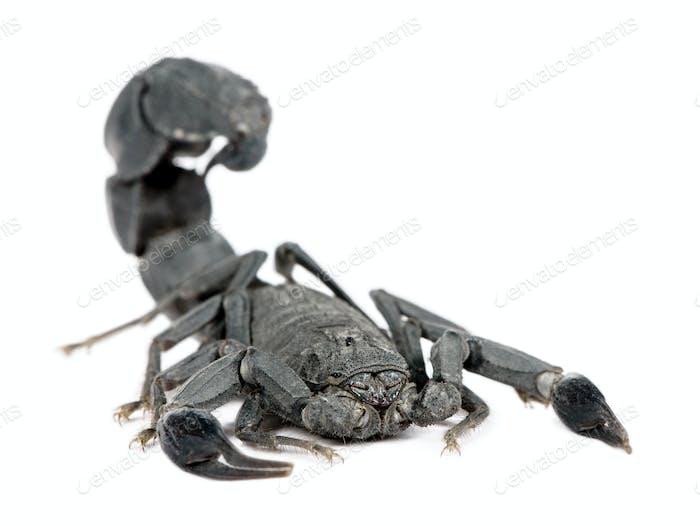 Scorpion  - Androctonus mauretanicus