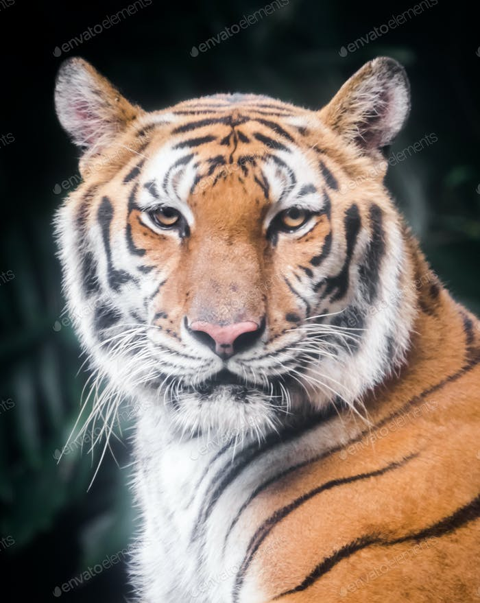 Portrait of a tiger who is looking at you