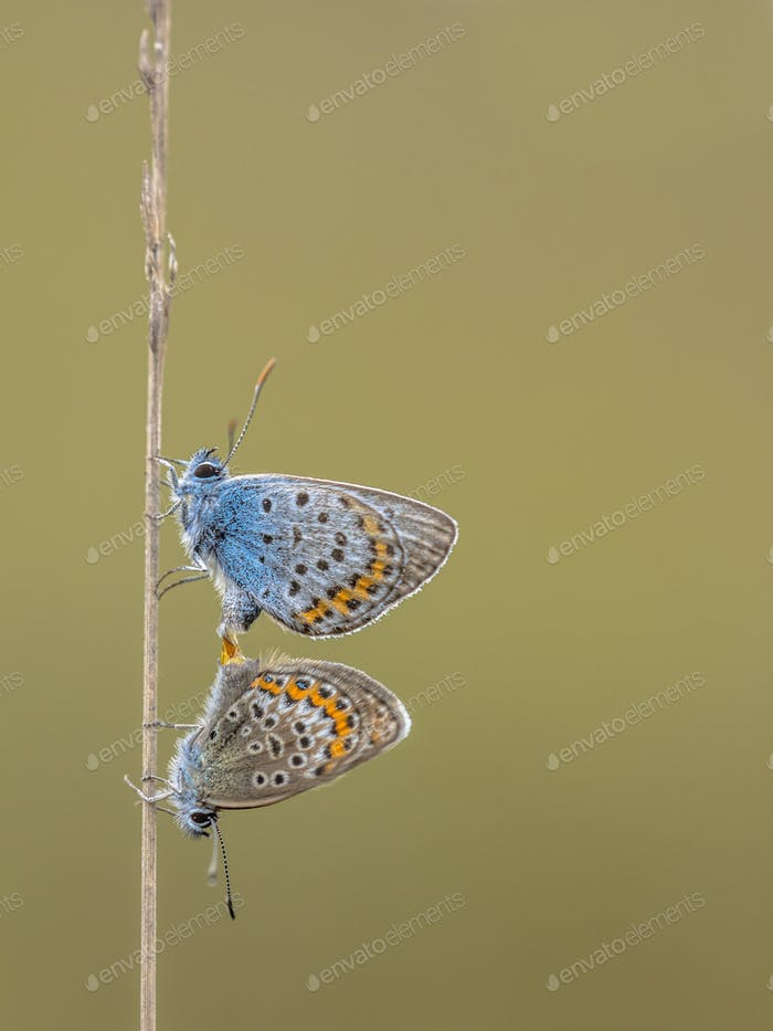 Couple silver studded blue butterflies copulating