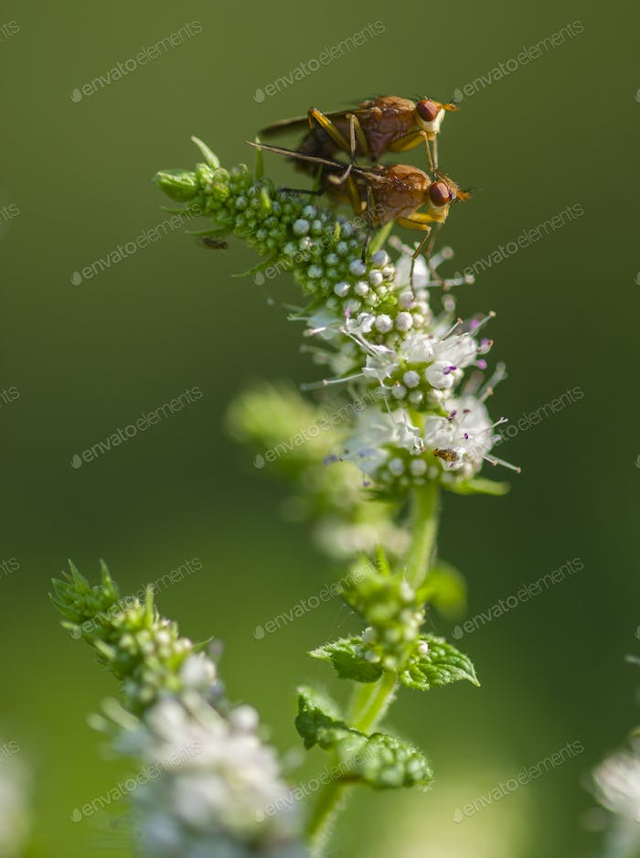 Tiny flies mating on flowers