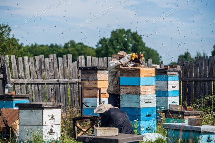 Beekeeping, an elderly man in protective outfit fumigates bees removes honeycombs from hives to