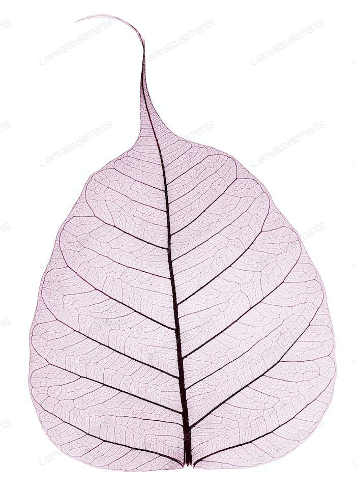 ein lila transparentes getrocknetes gefallenes Blatt