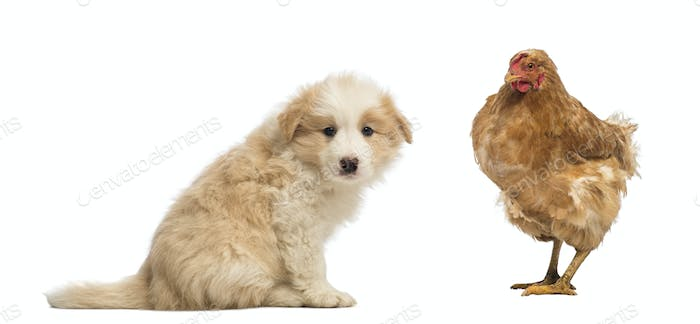 Side view of a Border Collie puppy, 6 weeks old, sitting and looking at the camera, with a hen