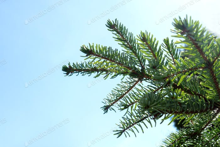 Fir branches on blue sky, spring.