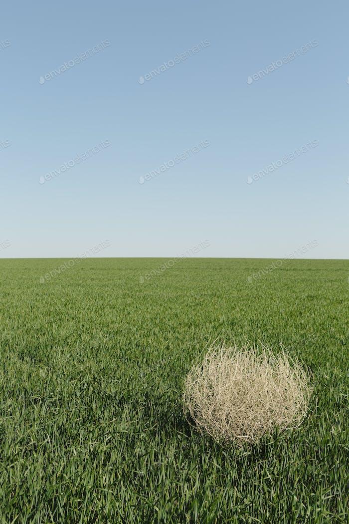 Sagebrush, tumbleweed blowing across a field of growing wheat crop in the farmland.