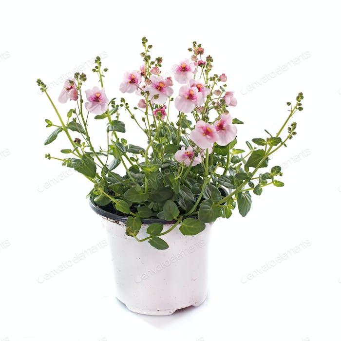 Diascia flower