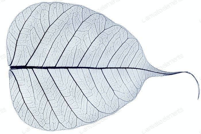 ein blaues transparentes getrocknetes gefallenes Blatt