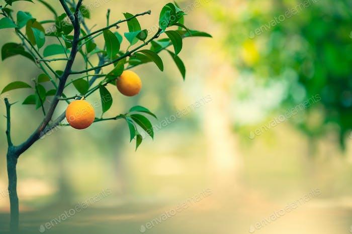 Orange tree garden