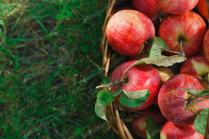 Basket with apples harvest closeup on grass in garden