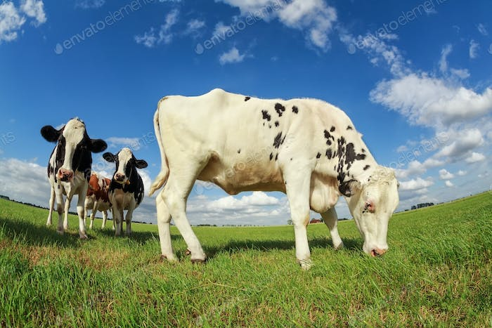 white cow grazing on green pasture