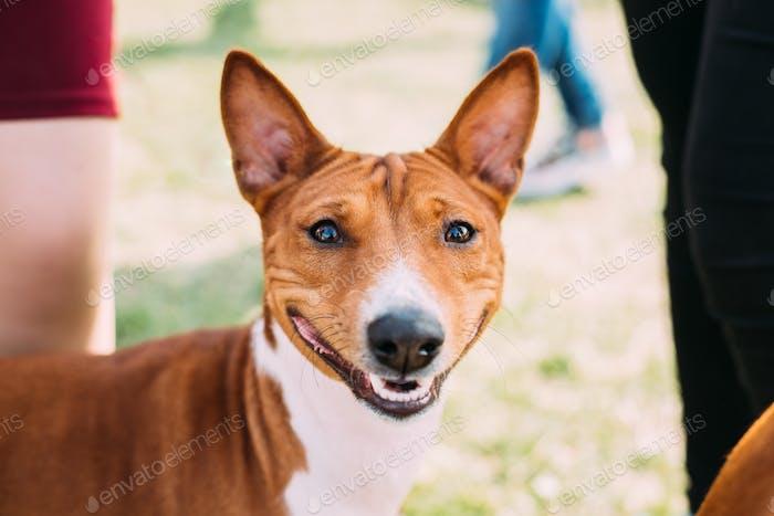 Basenji Kongo Terrier Hund Die Basenji Ist Eine Rasse Der Jagdhund