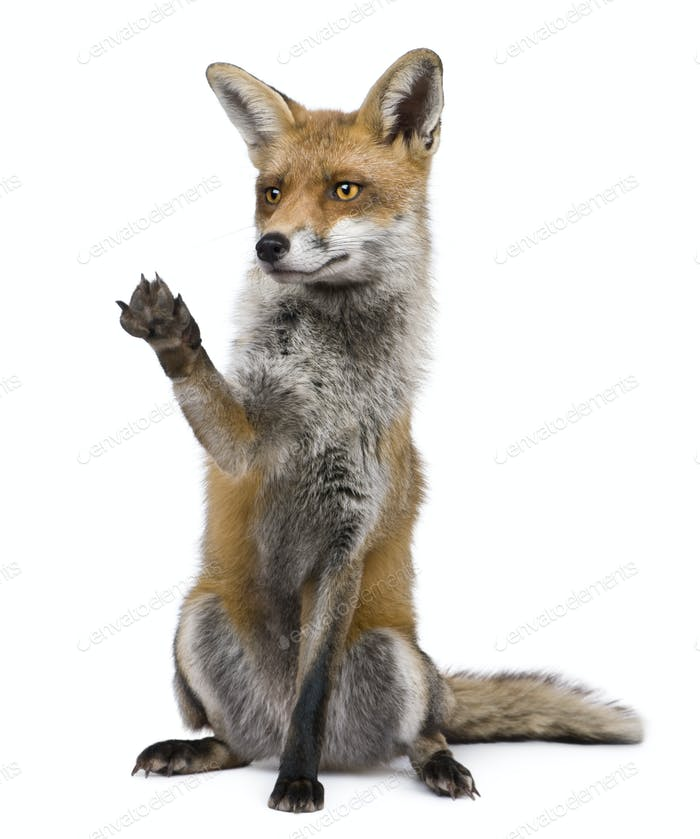 Red Fox, 1 year old, sitting with paw raised in front of white background