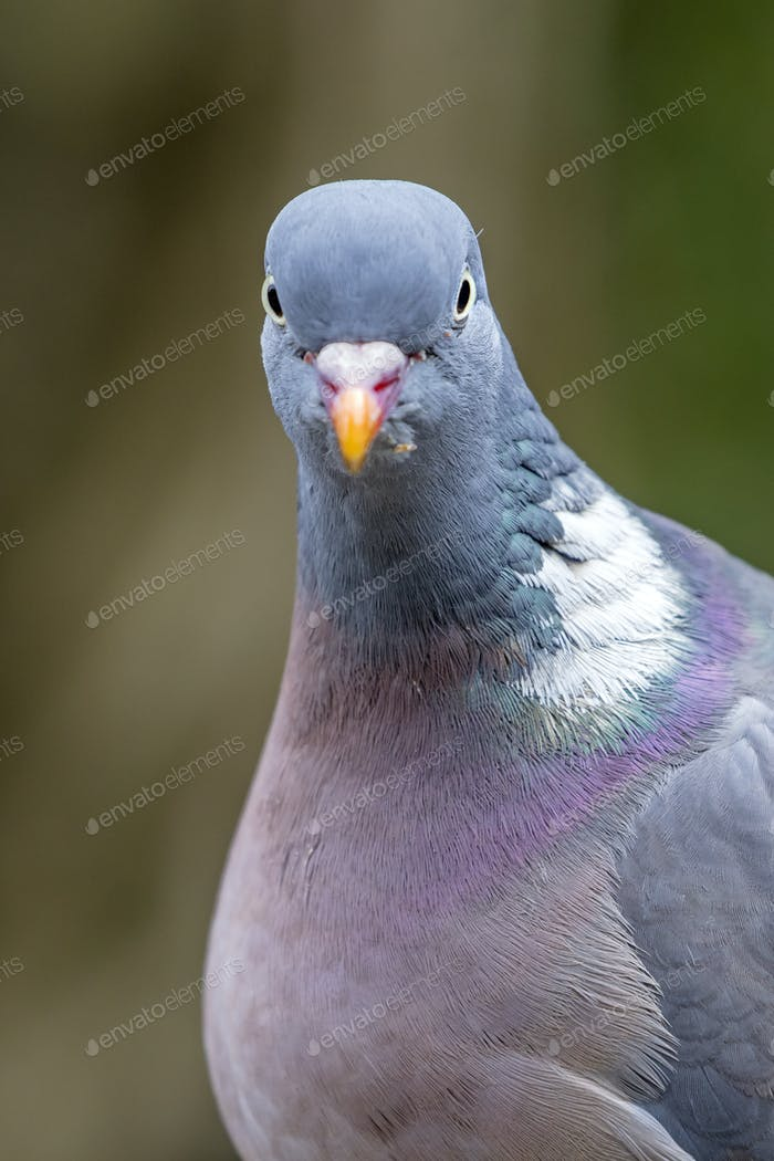 Grey ring dove bird on green background