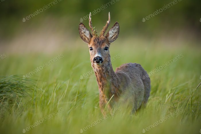 Roe deer, capreolus capreolus, buck in spring at sunset