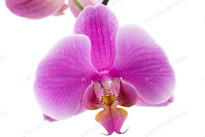 Schöne violette Hausblumen Orchideen.