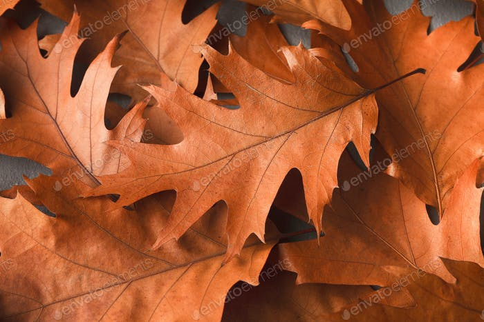 Fall oak leaves background closeup