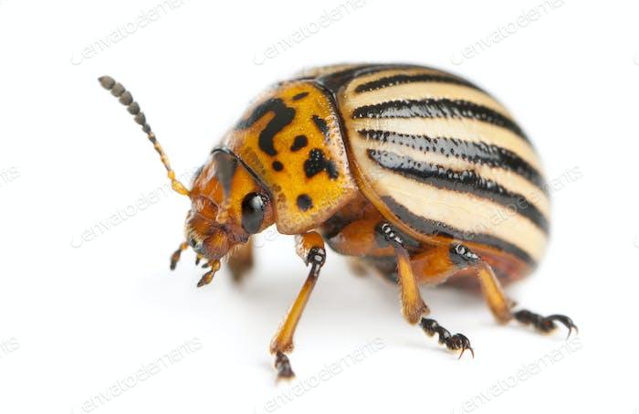 Colorado potato beetle, Leptinotarsa decemlineata, in front of white background