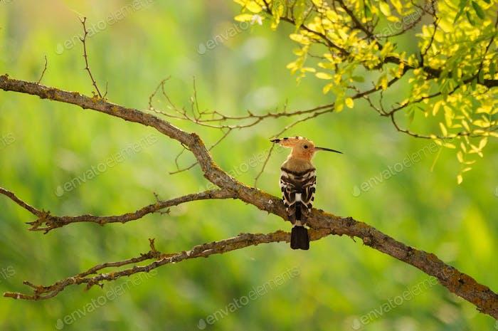 Wiedehopf Vogel auf dem Baum