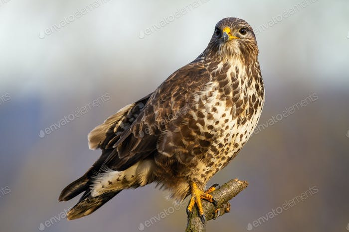 Smiling common buzzard resting on the branch on the meadow in winter