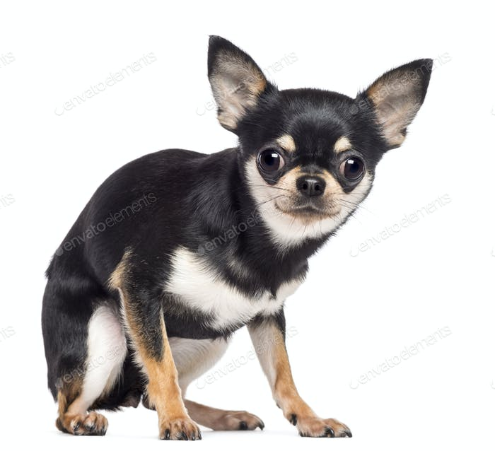 Fearful Chihuahua, 1.5 years old, sitting and looking at camera against white background