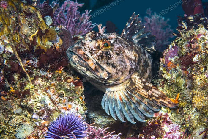 Cabezon fish on California reef