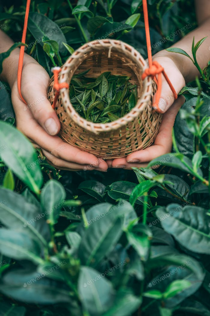 Vertical shot of a female holding and showing collected tea leaves