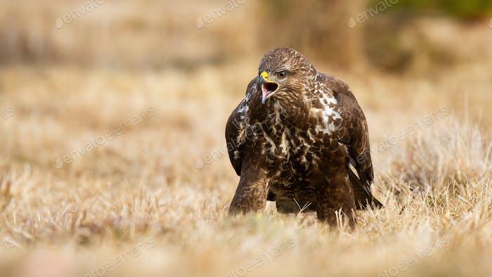 Fierce common buzzard screeching on meadow in autumn