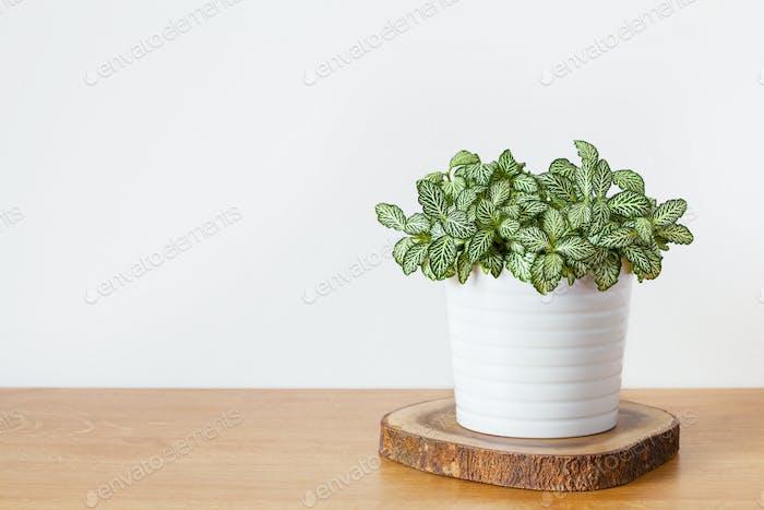 Zimmerpflanze Fittonia albivenis im weißen Topf