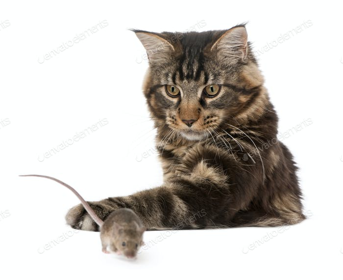 Main Coon pawing at wild mouse, 7 months old, in front of white background
