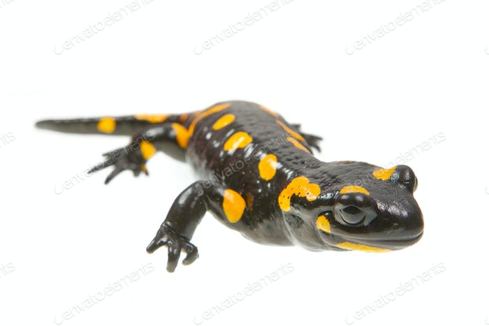 Fire salamander (Salamandra salamandra) on a white background