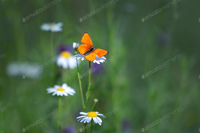 Beautiful Scarce Copper buttrefly sitting on the flower, Lycaena virgaureae