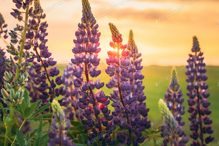 Wild Flowers Lupine In Summer Field Meadow. Close Up. Lupinus, L
