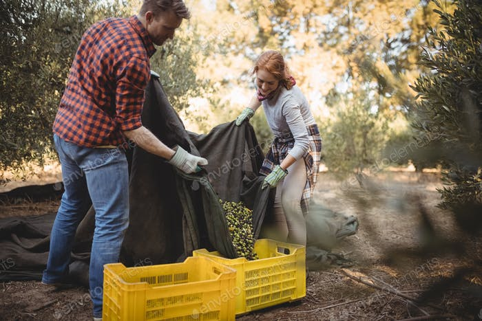 Couple collecting olives in crates at farm during sunny day