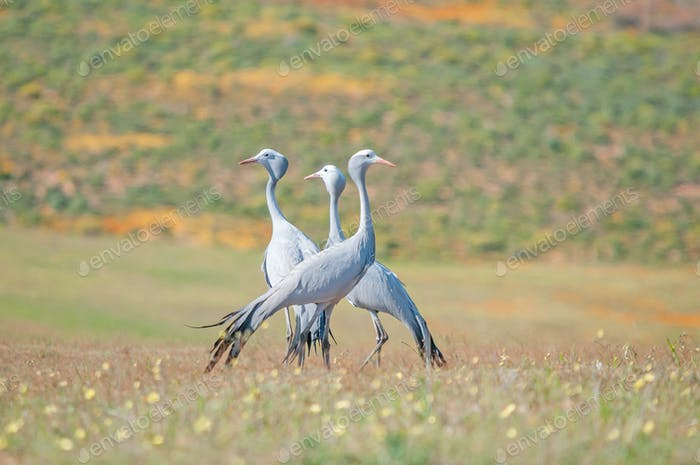 The Blue Crane, Grus paradisea