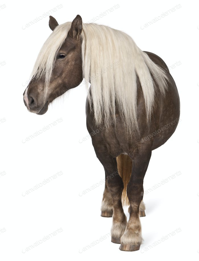 Comtois horse, a draft horse, Equus caballus, 10 years old, standing in front of white background