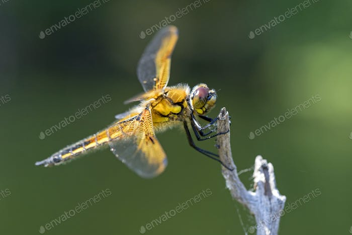 Dragon fly on wood