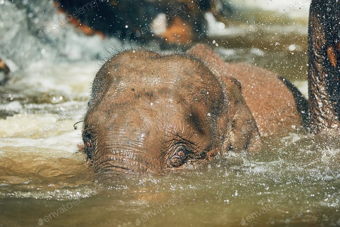 Elephant playing in the river