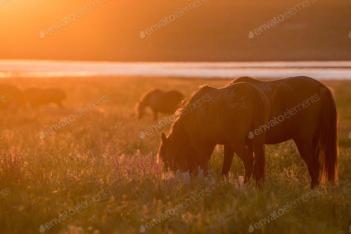 Wilde Pferde grasen auf Sommerwiese bei Sonnenuntergang