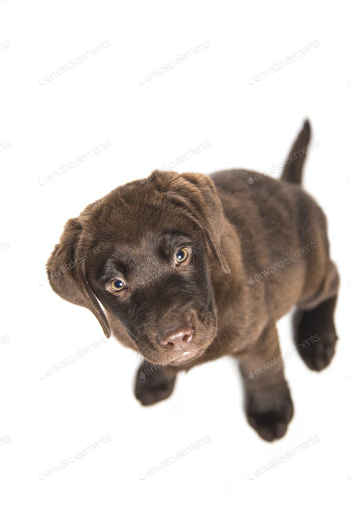 isolated portrait puppy of a chocolate labrador sitting looking