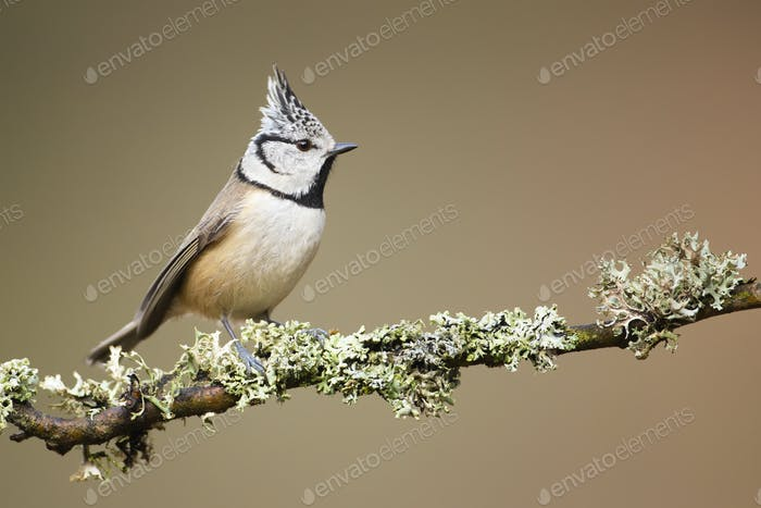 Beautiful european crested tit posing on the twig fully covered by lichen