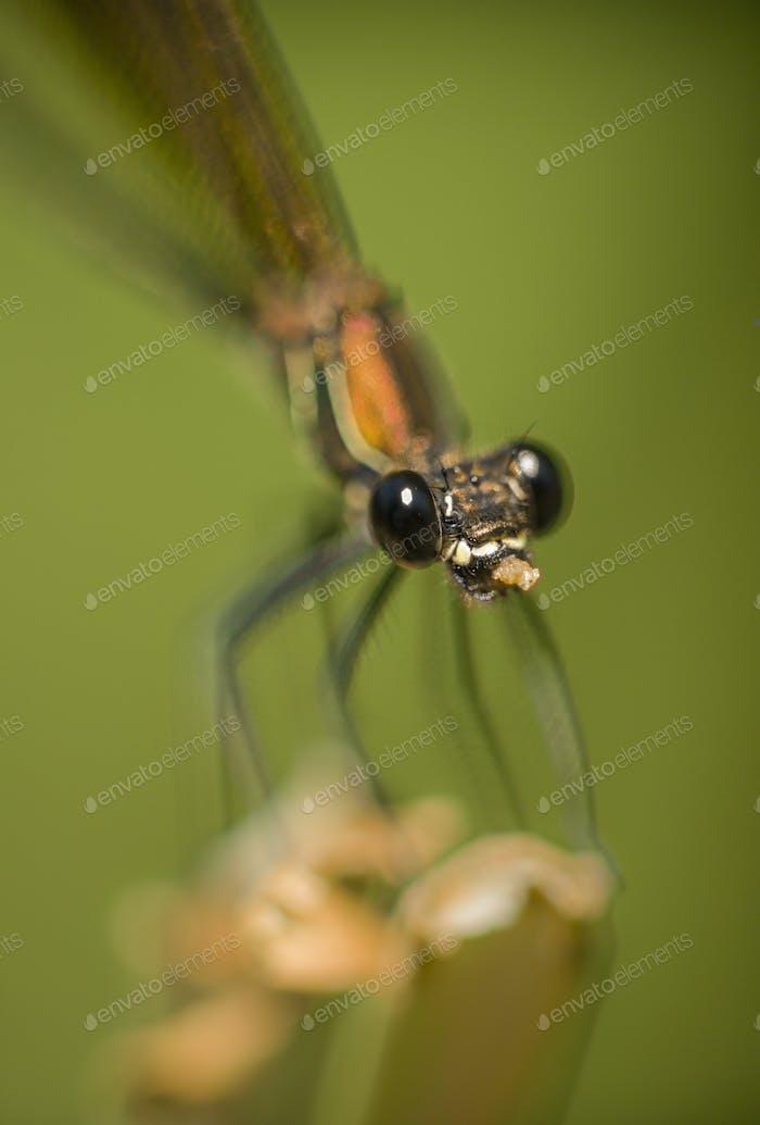Calopterix female damselfly