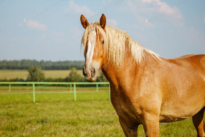 A red or brown horse with a long mane in the pasture at a horse farm