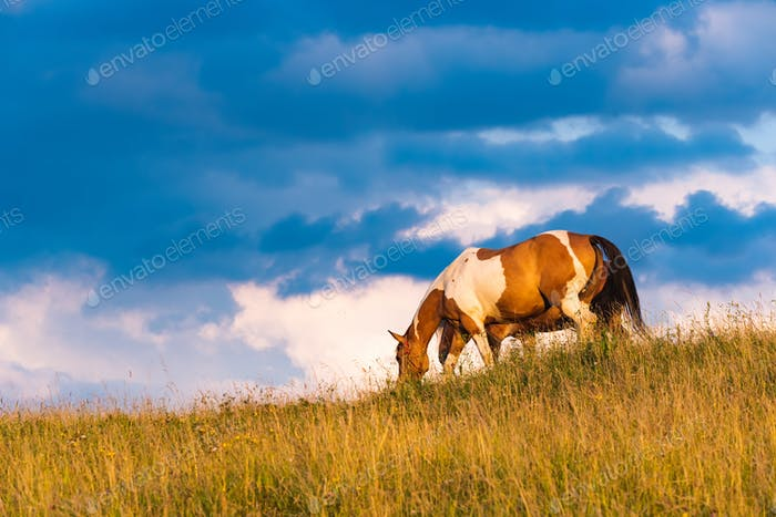 Horse grazing on a field in wild.