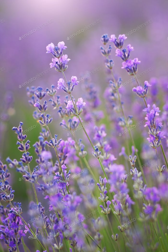Lavender flowers nature.