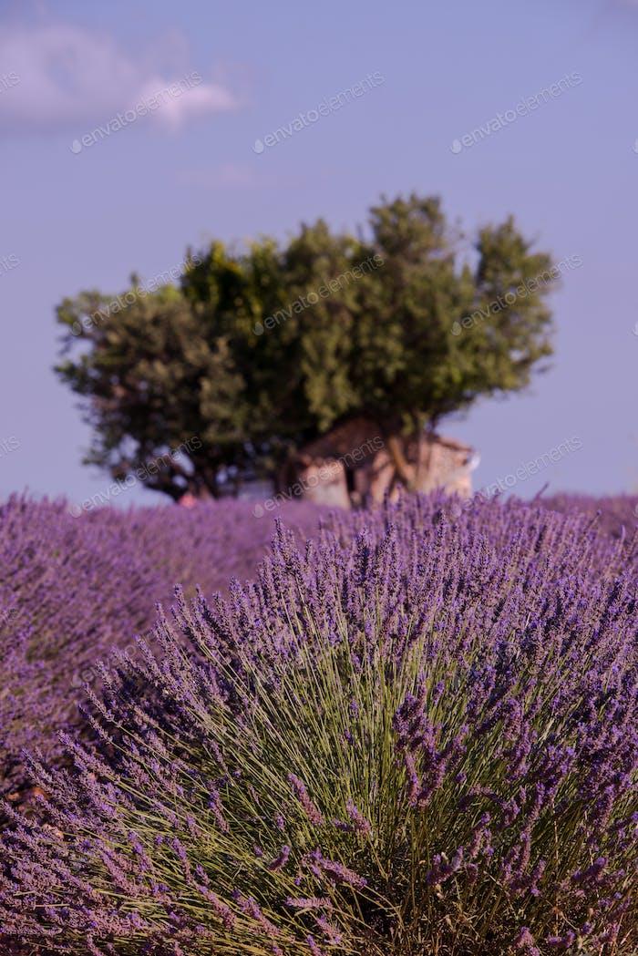 lila Lavendelblüten Feld mit einsamen Baum