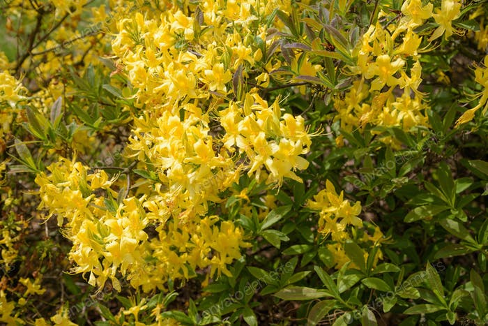 Floral background made of yellow rhododendron