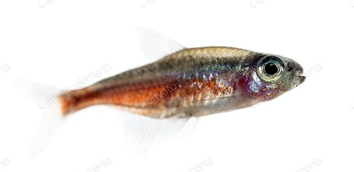 Side view of a cardinal tetra isolated on white