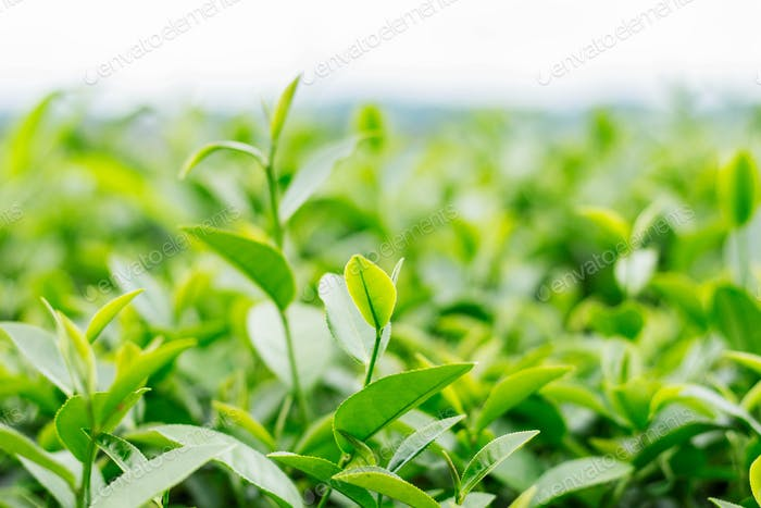 tea leaves with freshness