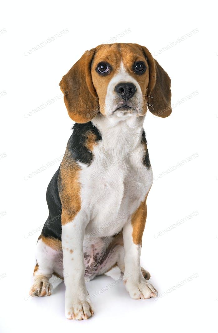 Welpe Beagle im Studio