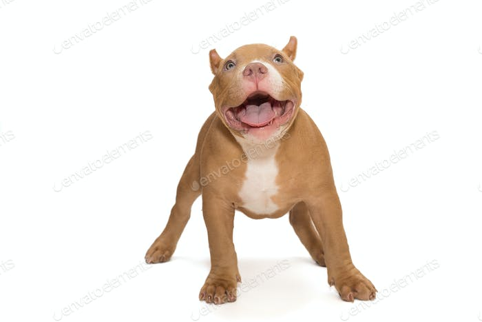 Small, funny American Bully puppy stands
